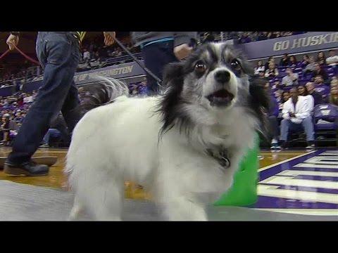 Dogs crash Washington Huskies' game